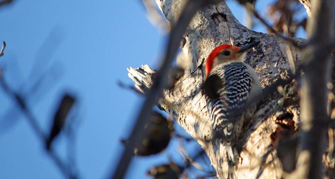 do red bellied woodpeckers migrate 2